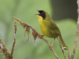 Olive-Crowned Yellowthroat (Geothlypis Semiflava) Singing on a Branch in the Milpe Reserve, Ecuador Photographic Print by Glenn Bartley