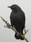 Brewer's Blackbird (Euphagus Cyanocephalus), Victoria, British Columbia, Canada Photographic Print by Glenn Bartley