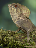 Helmeted Iguana (Corytophanes Cristatus), Costa Rica, Captive Photographic Print by Gregory Basco
