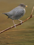 American Dipper (Cinclus Mexicanus) Perched on a Branch, Victoria, BC, Canada Photographic Print by Glenn Bartley
