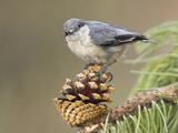 Pygmy Nuthatch (Sitta Pygmaea) Perched on a Branch, Oregon, USA Reproduction photographique par Glenn Bartley