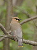 Cedar Waxwing (Bombycilla Cedrorum) Perched on a Branch, Ontario, Canada Photographic Print by Glenn Bartley