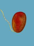 Pseudomonas Aeruginosa Bacteria with Long Flagella, TEM, Negative Stain Photographic Print by Terry Beveridge