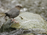 American Dipper (Cinclus Mexicanus) Perched on a Rock, Victoria, BC, Canada Photographic Print by Glenn Bartley