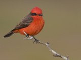 Vermillion Flycatcher (Pyrocephalus Rubinus) Perched on a Branch, Texas, USA Reproduction photographique par Glenn Bartley