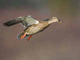 Mallard Duck (Anas Platyrhynchos) Flying Photographic Print by Glenn Bartley