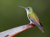 An Andean Emerald Hummingbird (Amazilia Franciae) Perched on a Branch Photographic Print by Glenn Bartley