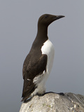 Common Murre (Uria Aalge), Maine, USA Photographic Print by John Abbott