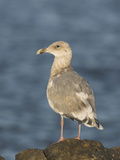 Glaucous-Winged Gull (Larus Glaucescens) in Victoria, British Columbia, Canada Photographic Print by Glenn Bartley