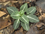 Downy Rattlesnake Plantain (Goodyera Pubescens) Photographic Print by John Arnaldi