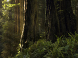 Redwoods (Sequoia Sempervirens), Redwood National Park, California, USA Photographic Print by David Cobb