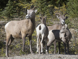 Bighorn Sheep Ewes with their Lambs (Ovis Canadensis) Banff National Park, Alberta, Canada Photographic Print by Hal Beral