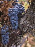 Merlot Grapes Ready for Harvest in the Applegate Valley, Oregon, USA Photographic Print by Sean Bagshaw