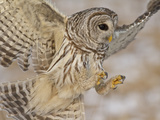 Barred Owl (Strix Varia) Hunting for Prey, Ontario, Canada Photographic Print by Glenn Bartley