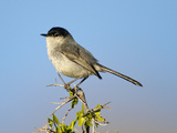 Black-Tailed Gnatcatcher (Polioptila Melanura), Big Bend National Park, Texas, USA Photographic Print by John Abbott