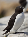Razorbill (Alca Torda), Maine, USA Photographic Print by John Abbott