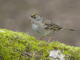 Golden-Crowned Sparrow (Zonotrichia Atricapilla) Perched on a Mossy Branch in Victoria Photographic Print by Glenn Bartley