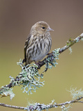 Pine Siskin (Carduelis Pinus) Perched on a Branch, Victoria, British Columbia, Canada Photographic Print by Glenn Bartley