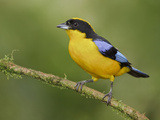 Blue-Winged Mountain-Tanager (Anisognathus Somptuosus) Perched on a Branch Reproduction photographique par Glenn Bartley