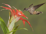 Brown Violetear Hummingbird (Colibri Delphinae) Hovering and Feeding at a Flower Photographic Print by Glenn Bartley