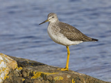 Greater Yellowlegs (Tringa Melanoleuca) Perched on a Rock in Victoria, British Columbia, Canada Photographic Print by Glenn Bartley