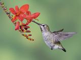 Anna's Hummingbird Female (Calypte Anna) Feeding at a Red Tubular Flower in Victoria Photographic Print by Glenn Bartley