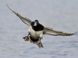 Male Lesser Scaup (Aythya Affinis) Flying, Victoria, BC, Canada Photographic Print by Glenn Bartley
