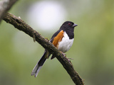 Eastern Towhee (Pipilo Erythrophthalmus), Virginia, USA Photographic Print by John Abbott