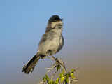 Black-Tailed Gnatcatcher (Polioptila Melanura) Singing, Big Bend National Park, Texas, USA Photographic Print by John Abbott