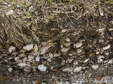 Kitchen Midden of an Indian Mound at Maximo Point Prehistoric Village Site, with Shells Exposed Photographic Print by John Arnaldi