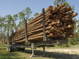 Timber Harvest of Slash Pine (Pinus Elliottii) Loaded on a Trailer Photographic Print by John Arnaldi
