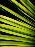 Leaf of Panama Hat Palm (Carludovica), Costa Rica Photographic Print by Gregory Basco