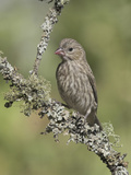 House Finch (Carpodacus Mexicanus) Perched on a Branch in Victoria, British Columbia, Canada Photographic Print by Glenn Bartley