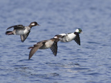Male and Female Bufflehead (Bucephala Albeola) Flying, Victoria, BC, Canada Photographic Print by Glenn Bartley