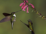 Collared Inca Hummingbirds (Coeligena Torquata) Hovering and Feeding at Red Tubular Flowers Photographic Print by Glenn Bartley