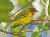 Mangrove Warbler, Costa Rica Photographic Print by Glenn Bartley