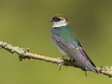 Violet-Green Swallow (Tachycineta Thalassina) Perched, Victoria, British Columbia, Canada Photographic Print by Glenn Bartley