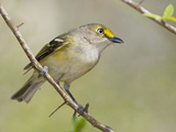 White-Eyed Vireo (Vireo Griseus), South Texas, USA Photographic Print by Glenn Bartley