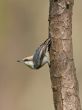 Brown-Headed Nuthatch (Sitta Pusilla) Perched on a Branch in Houston, Texas, USA Photographic Print by Glenn Bartley