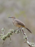 Curve-Billed Thrasher (Toxostoma Curvirostre) on a Branch in South Texas, USA Photographic Print by Glenn Bartley