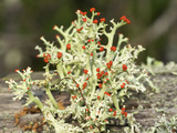 British Soldiers Lichen (Cladonicristatella) Fruticose Lichen with Fruiting Structures Photographic Print by John Arnaldi