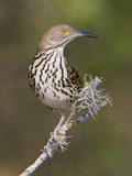 Long-Billed Thrasher (Toxostoma Longirostre) Perched on a Branch, South Texas, USA Photographic Print by Glenn Bartley