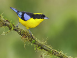 Blue-Winged Mountain-Tanager (Anisognathus Somptuosus) Perched on a Branch Photographic Print by Glenn Bartley
