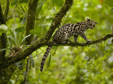 Margay Cat (Leopardus Wiedii), Costa Rica Photographic Print by Gregory Basco