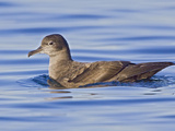 Sooty Shearwater (Puffinus Griseus) Swimming Victoria, British Columbia, Canada Photographic Print by Glenn Bartley