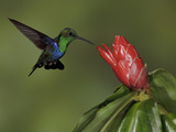 Green-Crowned Woodnymph (Thalurania Fannyi) Hovering and Nectaring at a Red Tubular Flower Photographic Print by Glenn Bartley