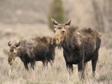 Moose Adult and Calf (Alces Alces), Grand Teton National Park, Wyoming, USA Photographic Print by David Cobb