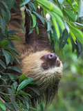 Two-Toed Sloth, Costa Rica Photographic Print by Glenn Bartley