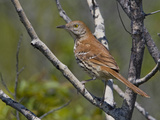 Brown Thrasher (Toxostoma Rufum) Perched on a Branch, Toronto, Ontario, Canada Papier Photo par Glenn Bartley