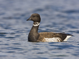 Brant Goose (Branta Bernicla) Near the Coast in Victoria, British Columbia, Canada Photographic Print by Glenn Bartley